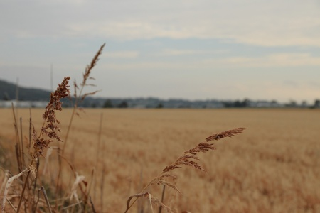 oat feild stubble australia queensland darling downs photo
