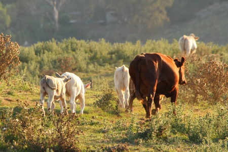 cow and calves in rustic thistle feild setting australia photo