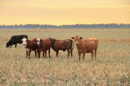land mammals: darling downs cattle grazing on grain stubble sunrise