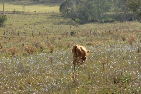wagyu cow  in rustic thistle flower feild setting australia photo