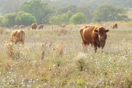 beef cattle: wagyu cow  in rustic thistle flower feild setting australia