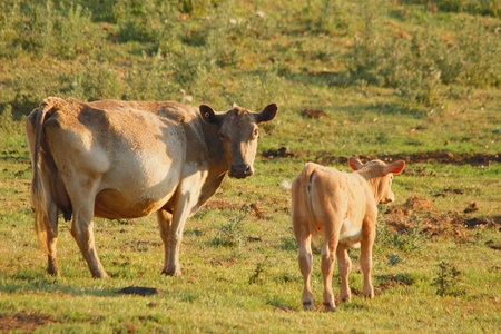 cow and calve in rustic thistle feild setting australia photo