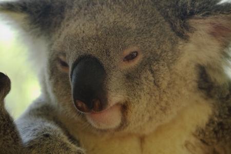 koala bear australian native fauna queensland beerwah Stock Photo - 16961124