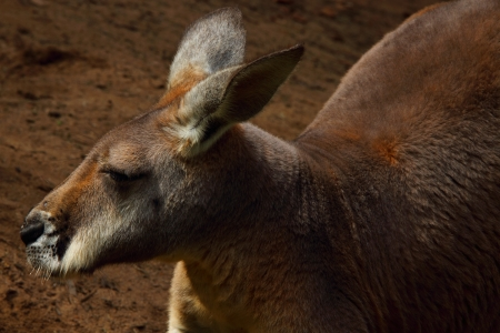 Red Kangaroo the fauna symbol of Australia and coat of arms icon of the outback and bush photo