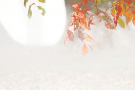 autumn colour: nyssa silvatica border of colour in autumn fog and drizzel toowoomba queenspark