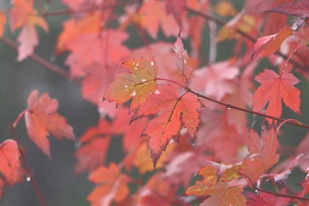 toowoomba: liquidamber or canadian maple in autumn fog and drizzel toowoomba queenspark