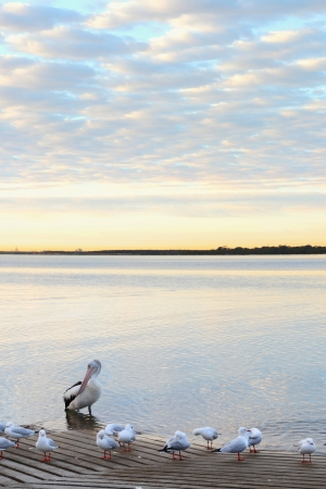 water's edge: pelican at sunrise Brisbane. fast shutter with extended f22 depth of field  Stock Photo