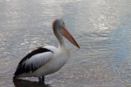wadding: pelican at sunrise Brisbane. wadding at waters edge