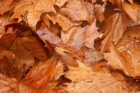toowoomba: plane tree brown leaf texture background queens park toowoomba australia Stock Photo