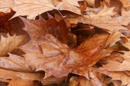 toowoomba: plane tree brown leaf texture background queens park toowoomba australia Stock Photo