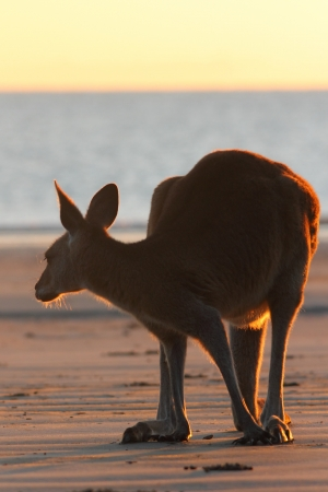 The rare sight of an eastern grey kangaroo on the beach in the morning  There only a few places in the world to witness this including cape hillsborough photo