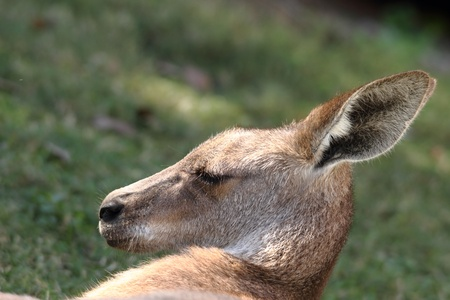 far eastern: anthropomorphic qualities of a roo in far north queensland lazing in cape hillsborough national park