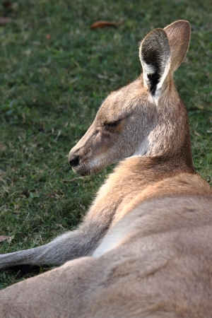 anthropomorphic: anthropomorphic qualities of a roo in far north queensland lazing in cape hillsborough national park