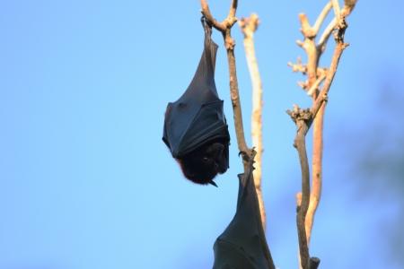 black fox: Flying fox fruit bat population in hervey bay queensalnd australia Stock Photo