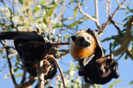fruit bat: Flying fox fruit bat population in hervey bay queensalnd australia Stock Photo