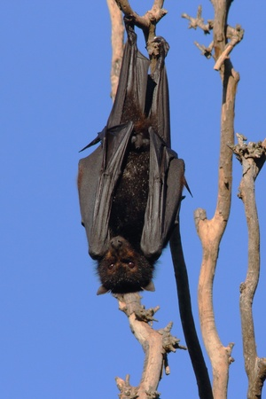Flying fox fruit bat population in hervey bay queensalnd australia Stock Photo