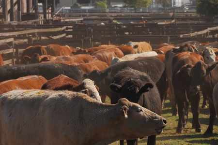 brahman: cattle in high density toowoomba sale yards for auction servicing the darling downs