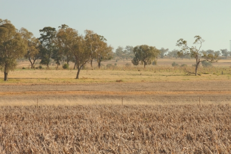 livestock feed crops stuble of sorghum on the darling downs region toowoomba queensland australia photo