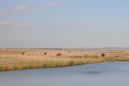 toowoomba: cattle hereford near toowoomba at the water hole rural australia queensland