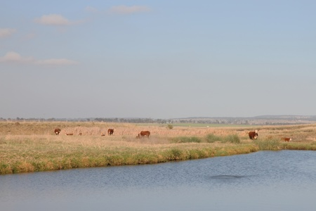 ganado hereford cerca de Toowoomba en el agua agujero australia queensland rural photo