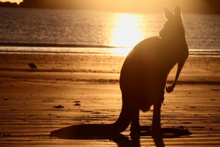 joey: symbol s of Australia the beach and kangaroo a rare sight together and in silhouette