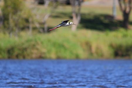 necked: zwarte hals stelten Brisbane Australia sandgate wetlands