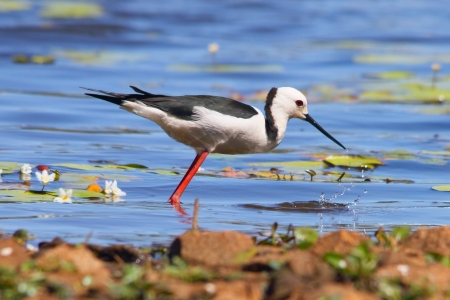 black necked stilts brisbane australia sandgate wetlands photo