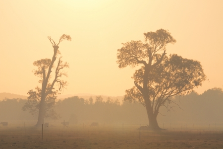 australian beef cow: Bushfire smoke filled australian landscape of farm with gums and cows