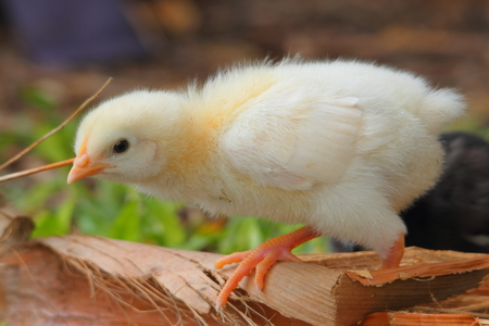 baby chicken in natural rural australia backyard copp setting photo