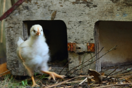 leghorn: white Leghorn chick in rustic grungy birdhouse shelter