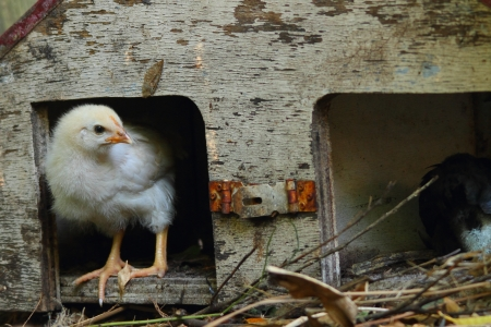 coop: white Leghorn chick in rustic grungy birdhouse shelter