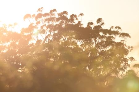 toowoomba: Australiana  gum tree background sunrise image toowoomba queensland