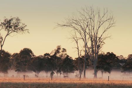 Dead gum tree australian bush outback scene with horses in fog