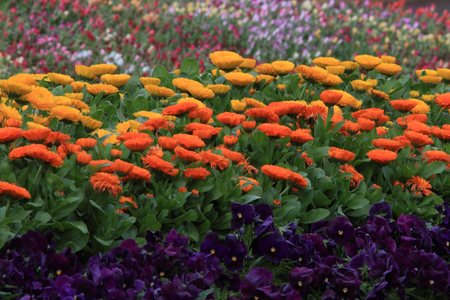calendula, portulaca and pansies in cottage garden flowers photo