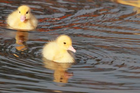 toowoomba: new born ducklings at the japeneese gardens toowoomba