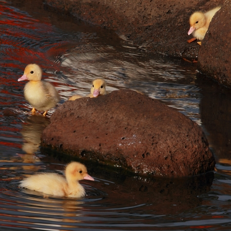 new born ducklings at the japeneese gardens toowoomba photo