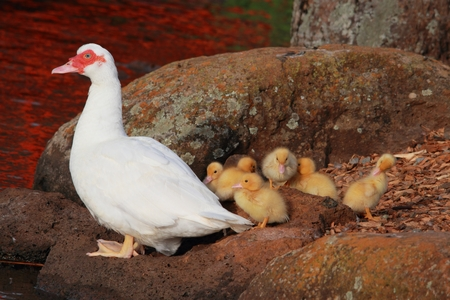 japenese: mother duck and babies and japenese gardens toowoomba