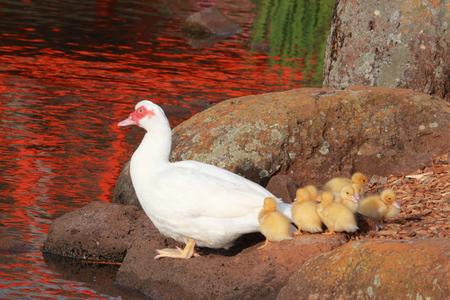 muscovy duck: mother duck and babies and japenese gardens toowoomba