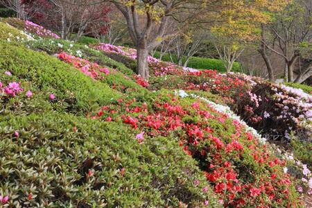 toowoomba: Azaleas in Japanese gardens toowoomba carnival of flowers