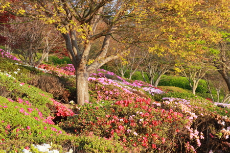 azaleas: Azaleas in Japanese gardens toowoomba carnival of flowers