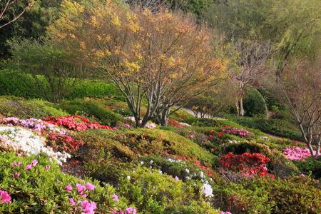 Azaleas in Japanese gardens toowoomba carnival of flowers