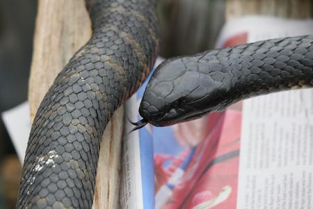 tasmania: deadly tiger snakes tasmania swansea