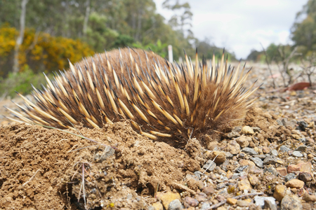 wild echidna in balled up and dug into the ground tasmania swansea area Stock Photo
