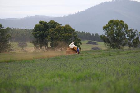 quad: farmer on quad bike lavender farm tasmania Stock Photo