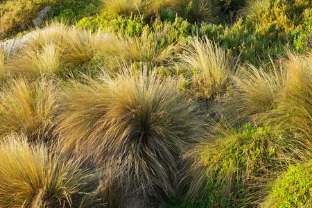 orificio nasal: buttongrass en Bicheno famoso por las rocas de l�quenes y ping�inos rojo tasmania