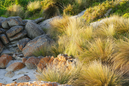 buttongrass in Bicheno famed for the red lichen rocks and penguins tasmania