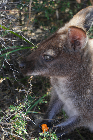 wallaby: Bennett�s Wallaby freycinet national park eating tourist scraps