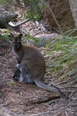 Bennett�s Wallaby freycinet national park with baby joey in pouch