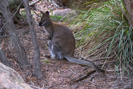 Bennett's Wallaby freycinet national park with baby joey in pouch