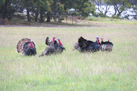 turkey cock: group of male turkies fighting for female tasmania